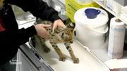 Impfung für Serval-Katze Daenerys