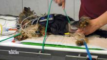 Wird Yorkshire-Terrier Garvin wieder frei laufen können?