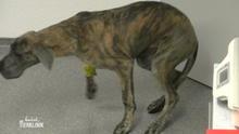Aufwendige Diagnose für Dogge Wilma