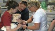 Warzen-Entfernung bei West Highland Terrier Quentin